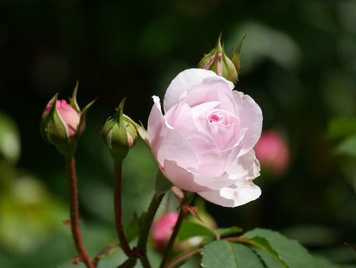 オリビア・ローズ・オースチン(Olivia Rose Austin)の花が咲いた。半ツルバラ。2021年-022.jpg