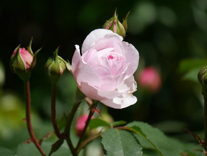 オリビア・ローズ・オースチン(Olivia Rose Austin)の花が咲いた。半ツルバラ。2021年-023.jpg