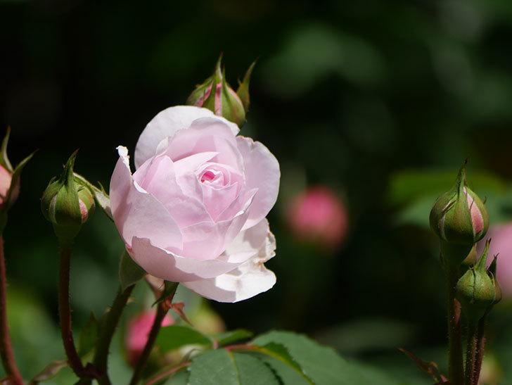 オリビア・ローズ・オースチン(Olivia Rose Austin)の花が咲いた。半ツルバラ。2021年-024.jpg