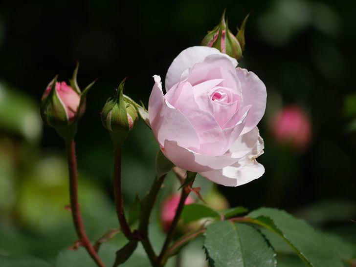 オリビア・ローズ・オースチン(Olivia Rose Austin)の花が咲いた。半ツルバラ。2021年-025.jpg