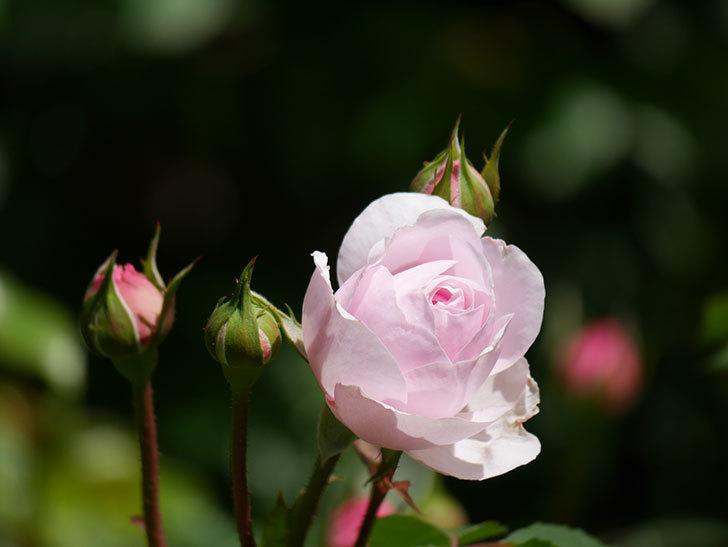 オリビア・ローズ・オースチン(Olivia Rose Austin)の花が咲いた。半ツルバラ。2021年-026.jpg