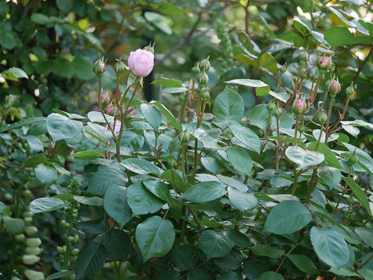 オリビア・ローズ・オースチン(Olivia Rose Austin)の花が少し咲いた。半ツルバラ。2021年-001.jpg