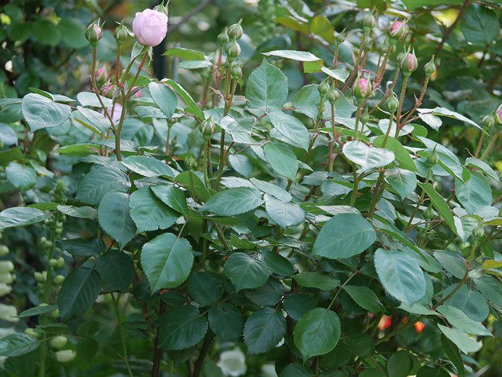 オリビア・ローズ・オースチン(Olivia Rose Austin)の花が少し咲いた。半ツルバラ。2021年-002.jpg