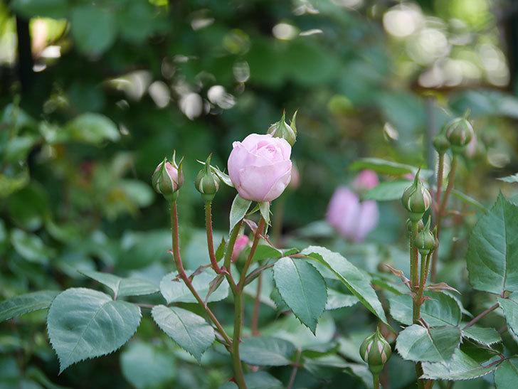 オリビア・ローズ・オースチン(Olivia Rose Austin)の花が少し咲いた。半ツルバラ。2021年-005.jpg