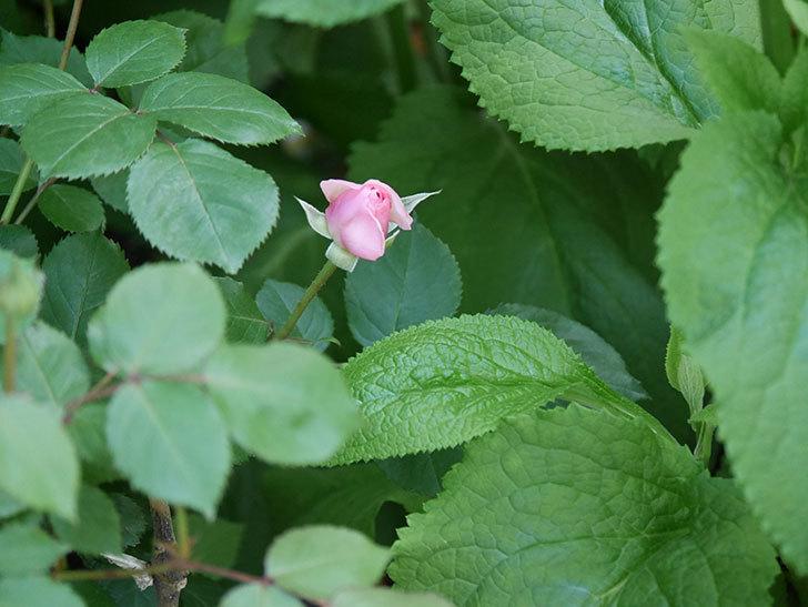 オリビア・ローズ・オースチン(Olivia Rose Austin)の花が少し咲いた。半ツルバラ。2021年-009.jpg