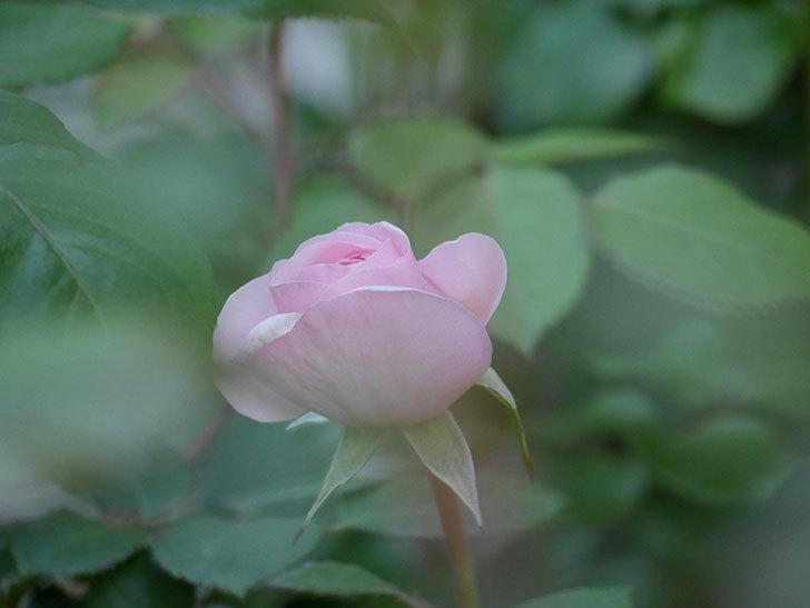 オリビア・ローズ・オースチン(Olivia Rose Austin)の花が少し咲いた。半ツルバラ。2021年-014.jpg