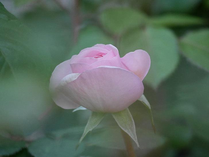 オリビア・ローズ・オースチン(Olivia Rose Austin)の花が少し咲いた。半ツルバラ。2021年-015.jpg