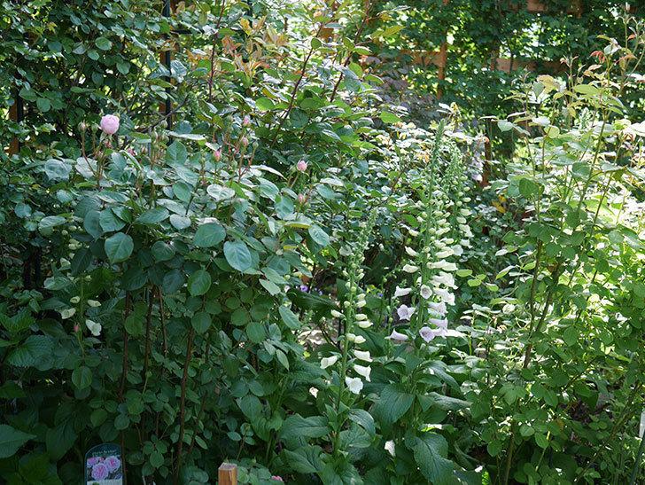 オリビア・ローズ・オースチン(Olivia Rose Austin)の花が少し咲いた。半ツルバラ。2021年-016.jpg