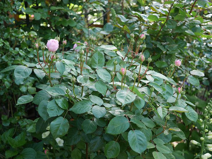オリビア・ローズ・オースチン(Olivia Rose Austin)の花が少し咲いた。半ツルバラ。2021年-018.jpg