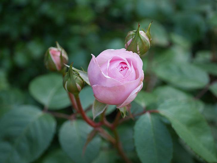 オリビア・ローズ・オースチン(Olivia Rose Austin)の花が少し咲いた。半ツルバラ。2021年-019.jpg