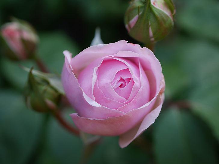 オリビア・ローズ・オースチン(Olivia Rose Austin)の花が少し咲いた。半ツルバラ。2021年-020.jpg