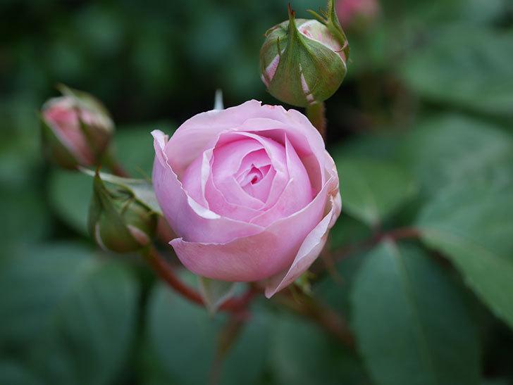 オリビア・ローズ・オースチン(Olivia Rose Austin)の花が少し咲いた。半ツルバラ。2021年-022.jpg