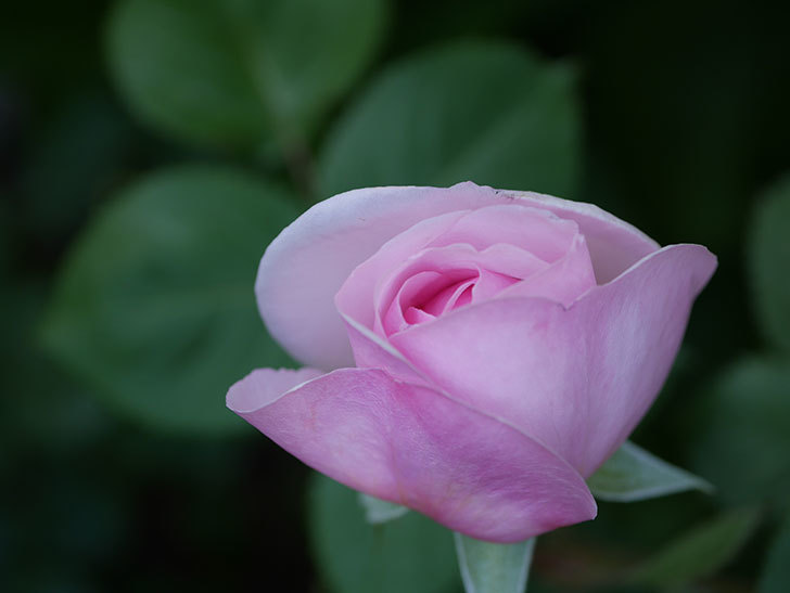 オリビア・ローズ・オースチン(Olivia Rose Austin)の花が少し咲いた。半ツルバラ。2021年-024.jpg
