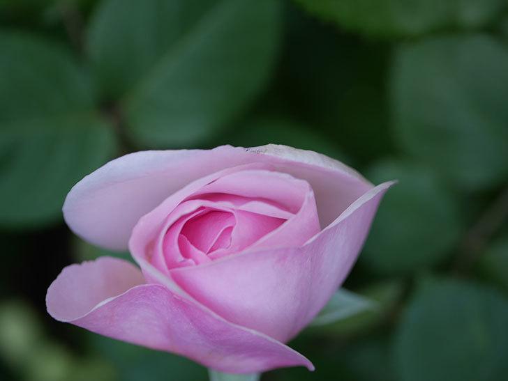 オリビア・ローズ・オースチン(Olivia Rose Austin)の花が少し咲いた。半ツルバラ。2021年-025.jpg