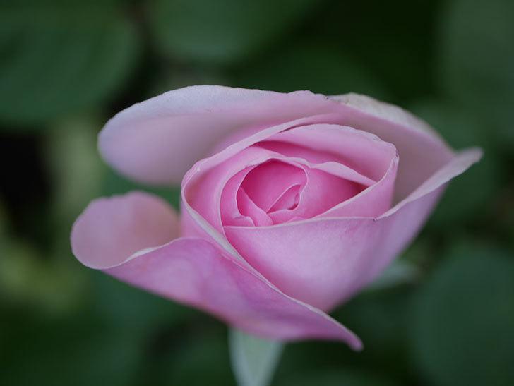 オリビア・ローズ・オースチン(Olivia Rose Austin)の花が少し咲いた。半ツルバラ。2021年-026.jpg