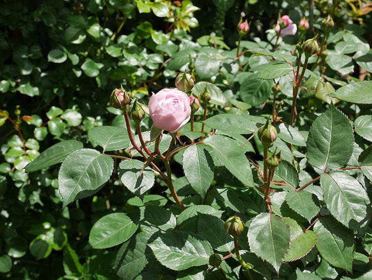 オリビア・ローズ・オースチン(Olivia Rose Austin)の花が少し咲いた。半ツルバラ。2021年-027.jpg