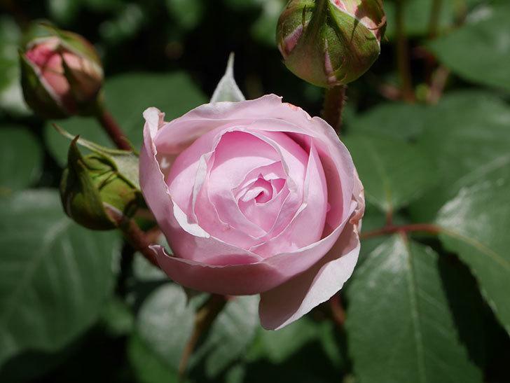 オリビア・ローズ・オースチン(Olivia Rose Austin)の花が少し咲いた。半ツルバラ。2021年-028.jpg