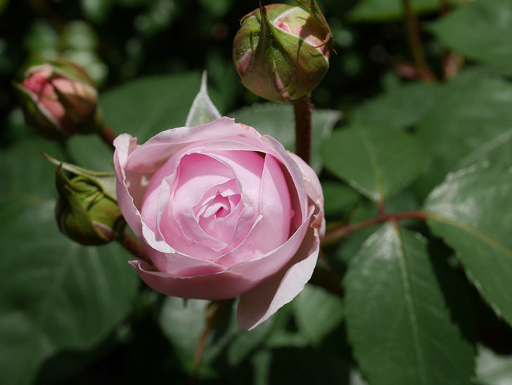 オリビア・ローズ・オースチン(Olivia Rose Austin)の花が少し咲いた。半ツルバラ。2021年-029.jpg