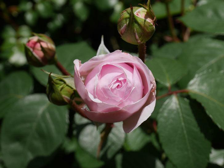 オリビア・ローズ・オースチン(Olivia Rose Austin)の花が少し咲いた。半ツルバラ。2021年-030.jpg