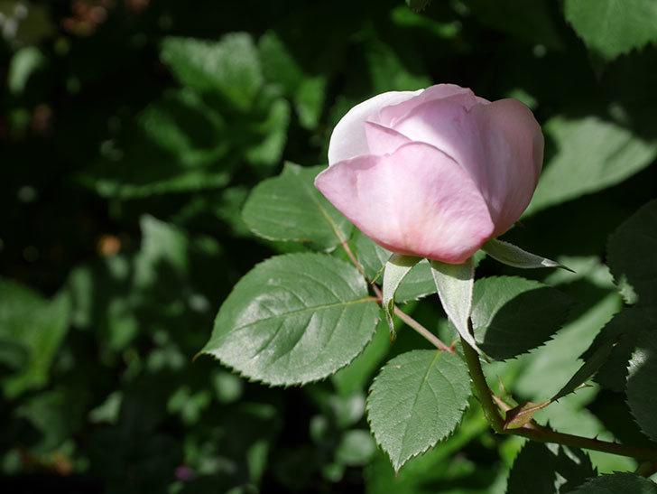 オリビア・ローズ・オースチン(Olivia Rose Austin)の花が少し咲いた。半ツルバラ。2021年-032.jpg