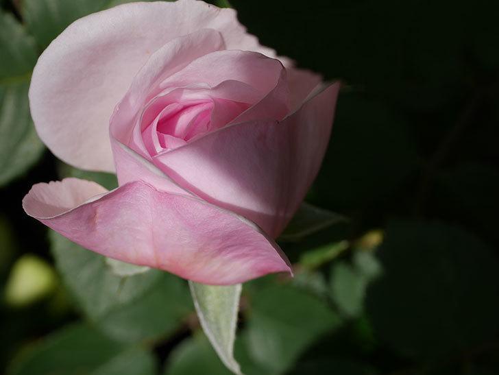 オリビア・ローズ・オースチン(Olivia Rose Austin)の花が少し咲いた。半ツルバラ。2021年-033.jpg