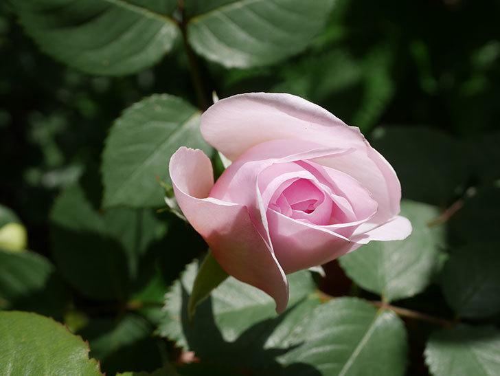 オリビア・ローズ・オースチン(Olivia Rose Austin)の花が少し咲いた。半ツルバラ。2021年-034.jpg