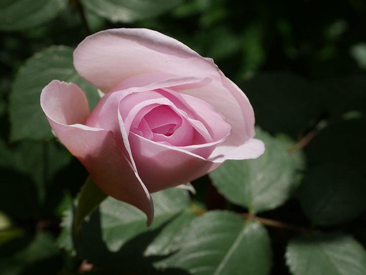 オリビア・ローズ・オースチン(Olivia Rose Austin)の花が少し咲いた。半ツルバラ。2021年-035.jpg