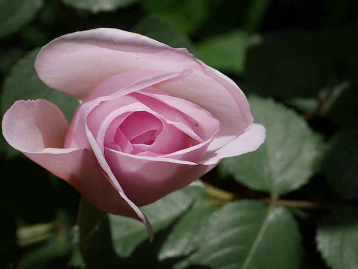 オリビア・ローズ・オースチン(Olivia Rose Austin)の花が少し咲いた。半ツルバラ。2021年-036.jpg