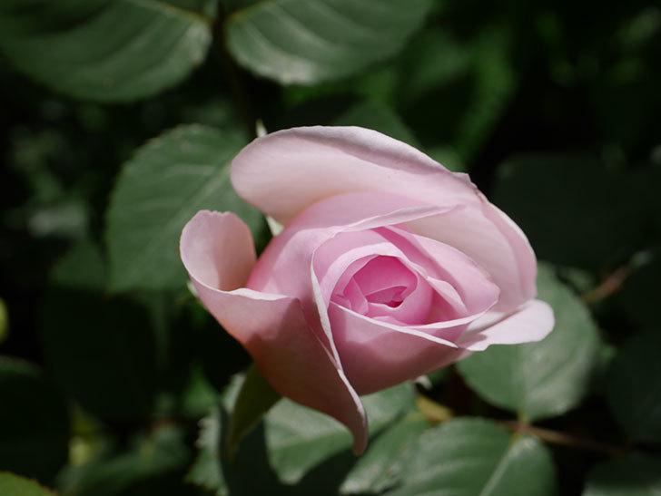 オリビア・ローズ・オースチン(Olivia Rose Austin)の花が少し咲いた。半ツルバラ。2021年-037.jpg