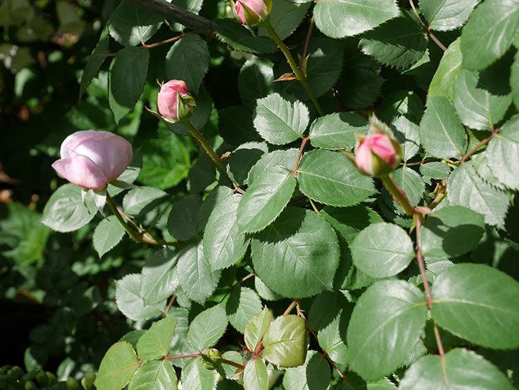オリビア・ローズ・オースチン(Olivia Rose Austin)の花が少し咲いた。半ツルバラ。2021年-039.jpg