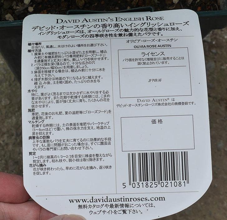 オリビア・ローズ・オースチン(半ツルバラ)の大苗買って来た。2019年-4.jpg