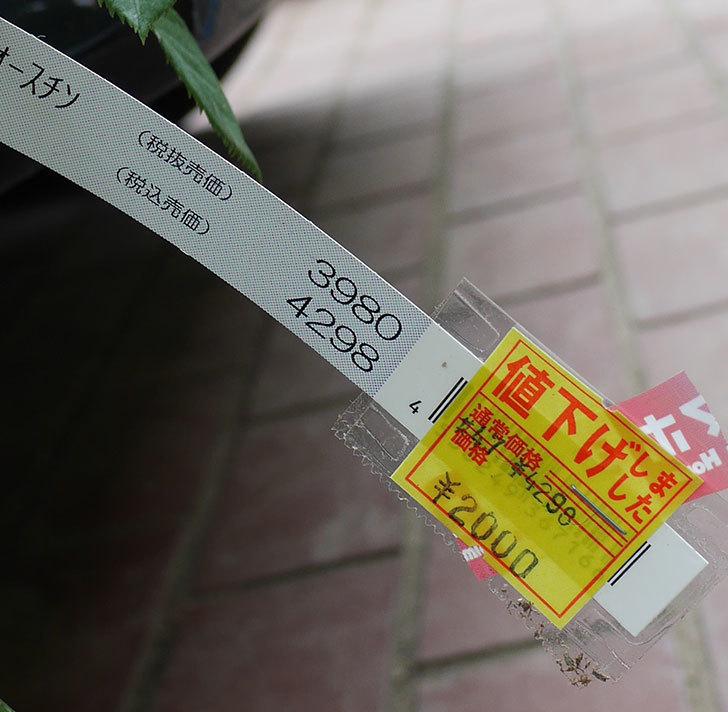 オリビア・ローズ・オースチン(半ツルバラ)の大苗買って来た。2019年-5.jpg