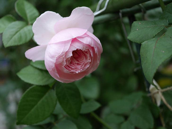 オリビア・ローズ・オースチン(半ツルバラ)の秋花がまた咲いた。2019年-2.jpg