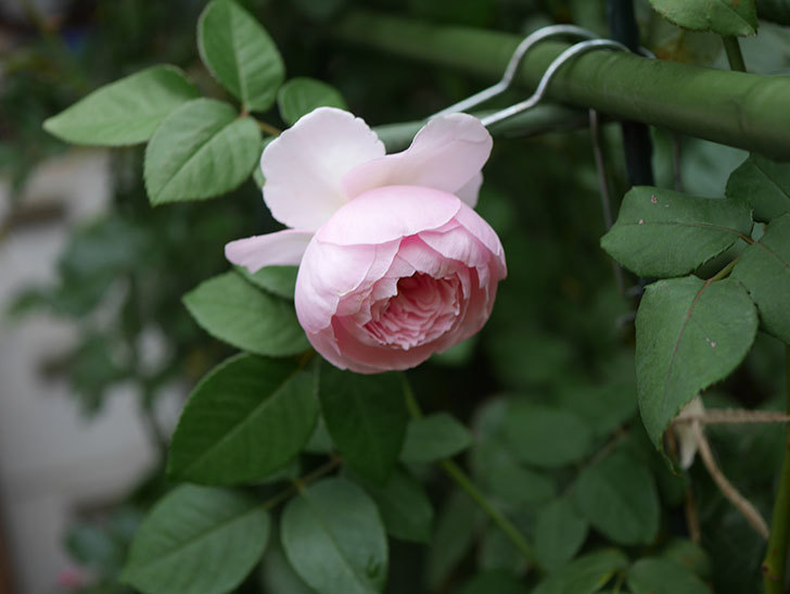 オリビア・ローズ・オースチン(半ツルバラ)の秋花がまた咲いた。2019年-6.jpg
