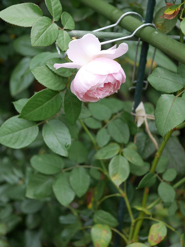オリビア・ローズ・オースチン(半ツルバラ)の秋花がまた咲いた。2019年-8.jpg