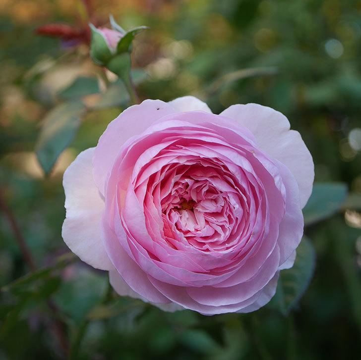 オリビア・ローズ・オースチン(半ツルバラ)の秋花が咲いた。2019年-1.jpg