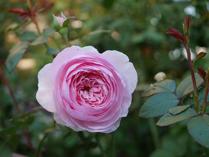 オリビア・ローズ・オースチン(半ツルバラ)の秋花が咲いた。2019年-4.jpg