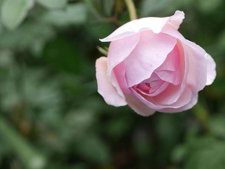 オリビア・ローズ・オースチン(半ツルバラ)の秋花が咲いた。2019年-6.jpg