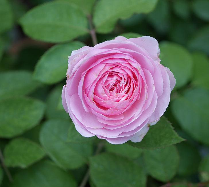 オリビア・ローズ・オースチン(半ツルバラ)の花が咲いた。2019年-1.jpg