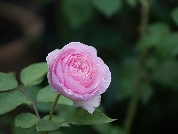 オリビア・ローズ・オースチン(半ツルバラ)の花が咲いた。2019年-12.jpg