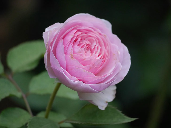オリビア・ローズ・オースチン(半ツルバラ)の花が咲いた。2019年-13.jpg