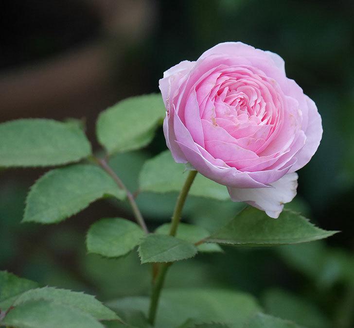オリビア・ローズ・オースチン(半ツルバラ)の花が咲いた。2019年-14.jpg