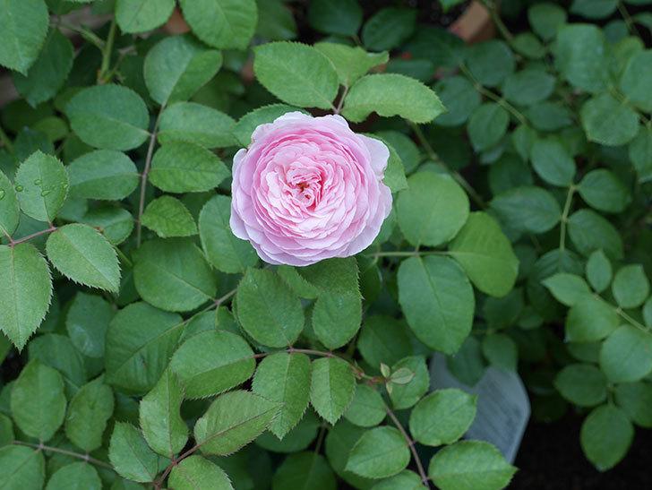 オリビア・ローズ・オースチン(半ツルバラ)の花が咲いた。2019年-16.jpg