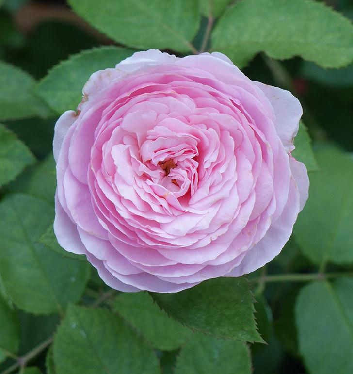 オリビア・ローズ・オースチン(半ツルバラ)の花が咲いた。2019年-17.jpg
