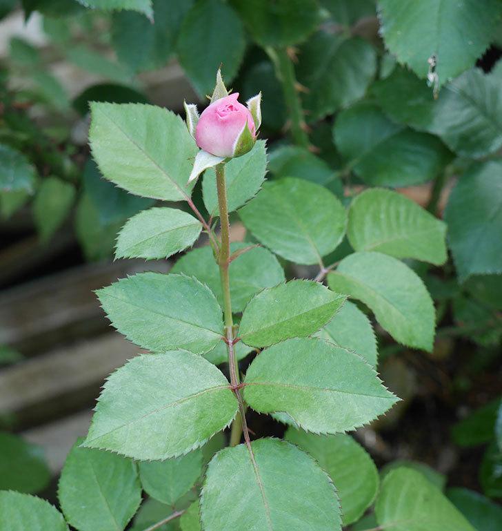 オリビア・ローズ・オースチン(半ツルバラ)の花が咲いた。2019年-18.jpg