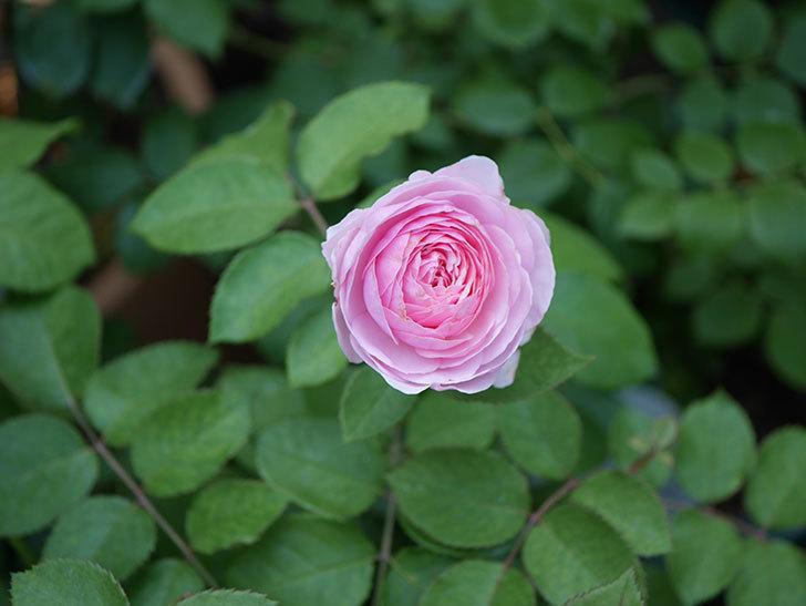 オリビア・ローズ・オースチン(半ツルバラ)の花が咲いた。2019年-2.jpg