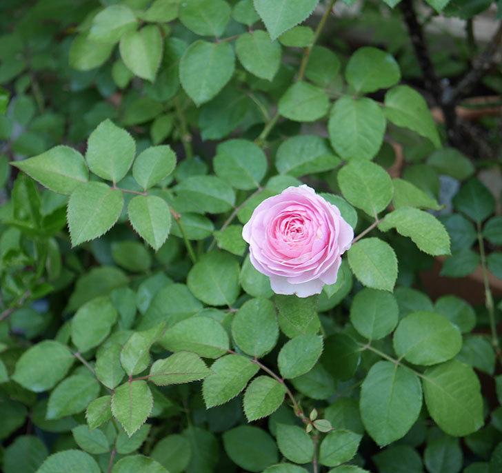 オリビア・ローズ・オースチン(半ツルバラ)の花が咲いた。2019年-3.jpg