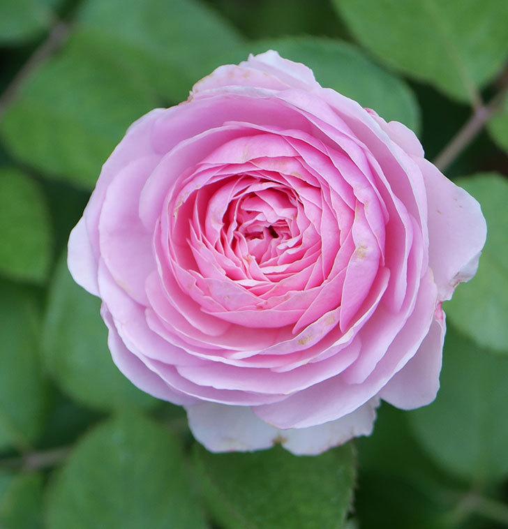 オリビア・ローズ・オースチン(半ツルバラ)の花が咲いた。2019年-4.jpg