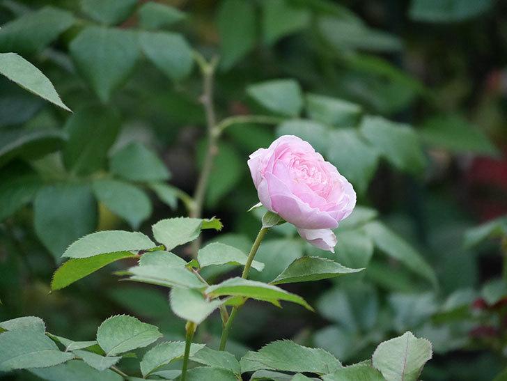 オリビア・ローズ・オースチン(半ツルバラ)の花が咲いた。2019年-6.jpg