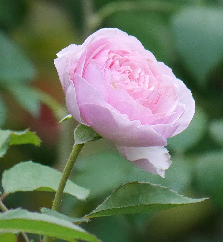 オリビア・ローズ・オースチン(半ツルバラ)の花が咲いた。2019年-7.jpg